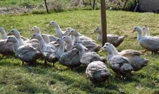 canards ducks