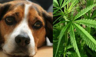 μαριχουάνα για ζώα συντροφιάς