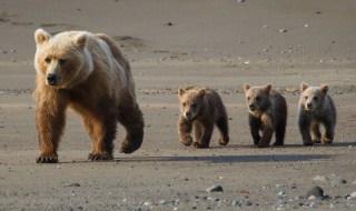 αρκουδάκι πυροβολημένο Αρκτούρου