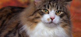 διαβήτης γάτας